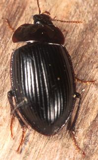 151534 - Necrophilus hydrophiloides