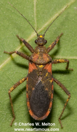 Assassin Bug? - Homalocoris erythrogaster