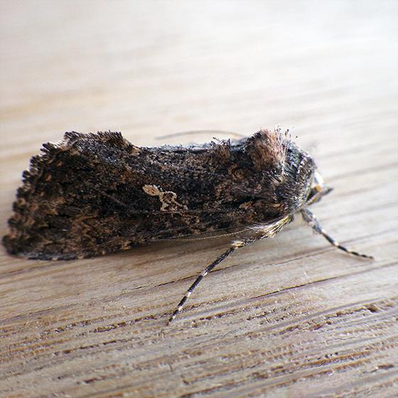 Cabbage Looper Moth (Trichoplusia ni) - Trichoplusia ni