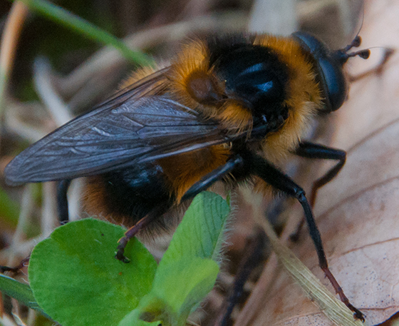 Bumble Bee-Mimic Syrphid? - Criorhina nigriventris - male