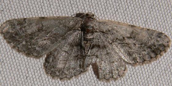 Common Gray - Anavitrinella pampinaria