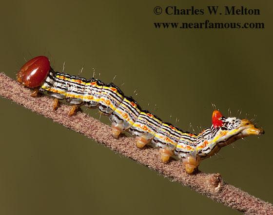 Symmerista sp. 59 day old larva - Symmerista zacualpana