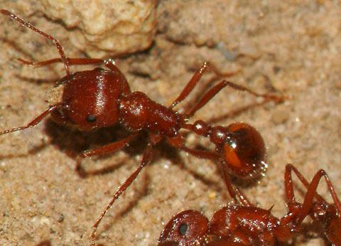 Harvester Ant - Pogonomyrmex subnitidus