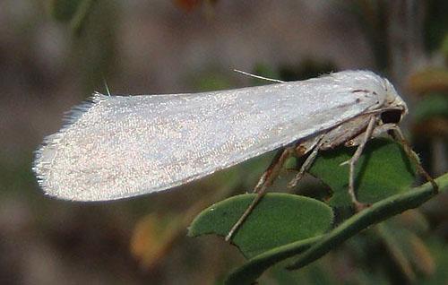desert moth