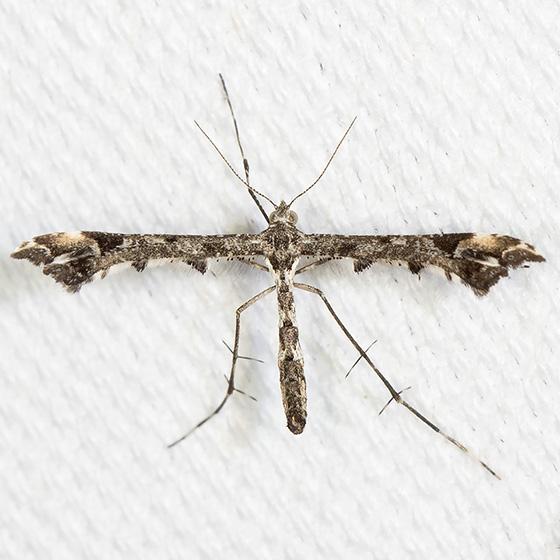 Geranium or Artichoke Plume Moth? - Amblyptilia pica