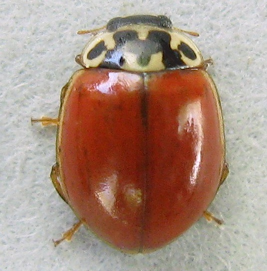 Spotless Two-spotted Lady Beetle - Adalia bipunctata