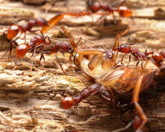 Cockroach - Parcoblatta virginica