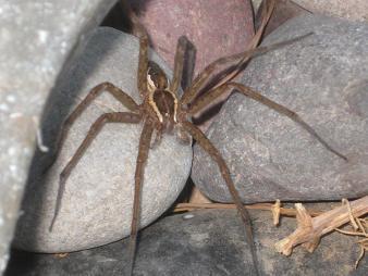 Fishing Spider? - Tinus peregrinus
