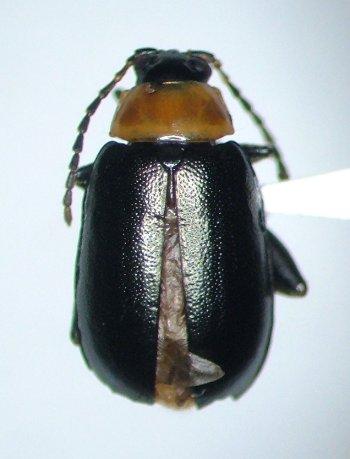 Disonycha xanthomelas