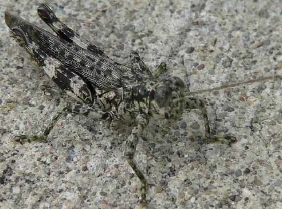 Pine Tree Spur-throat Grasshopper - Melanoplus punctulatus - male