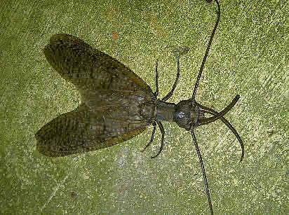 Corydalus cornutus - Eastern Dobson Fly - Corydalus cornutus - male
