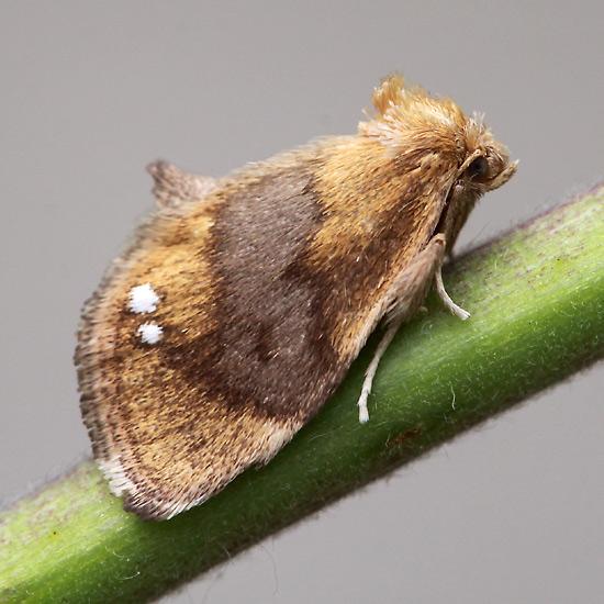 Moth - Packardia geminata