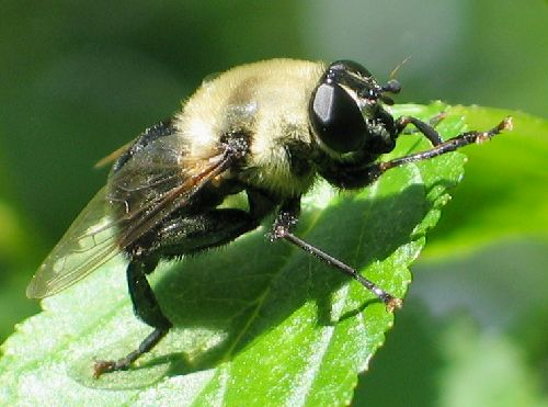 carpenterbee-mimic flower fly - Mallota bautias - female