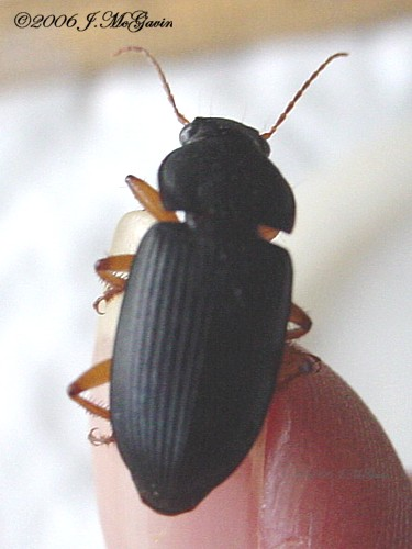 Black Beetle with orange legs - Harpalus pensylvanicus