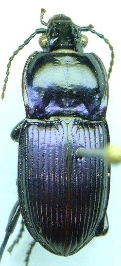 Myas - Myas coracinus