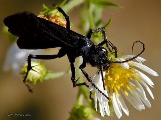 Spider Wasp - Anoplius aethiops - female