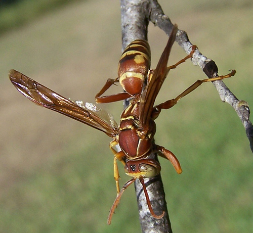 Red & Yellow wasp - Polistes bellicosus - male