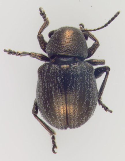 Chrysomelidae, dorsal - Graphops curtipennis