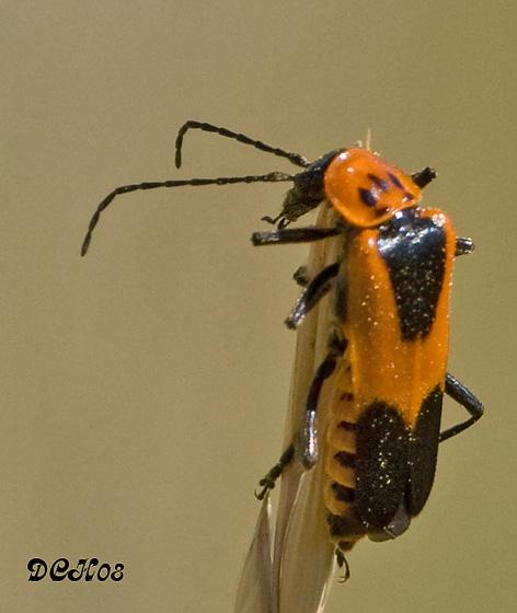 Beetle ID - Chauliognathus basalis