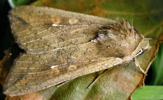 armyworm - Mythimna unipuncta