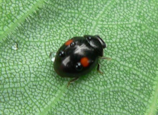 Lady Beetle - Hyperaspis - female