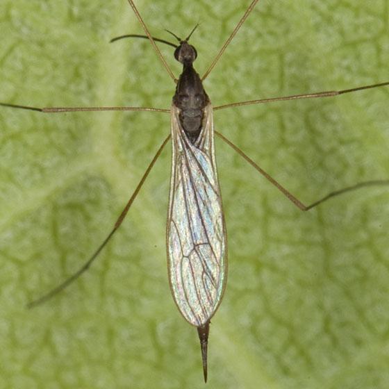 Limoniidae IMG_0460 - Toxorhina magna - female