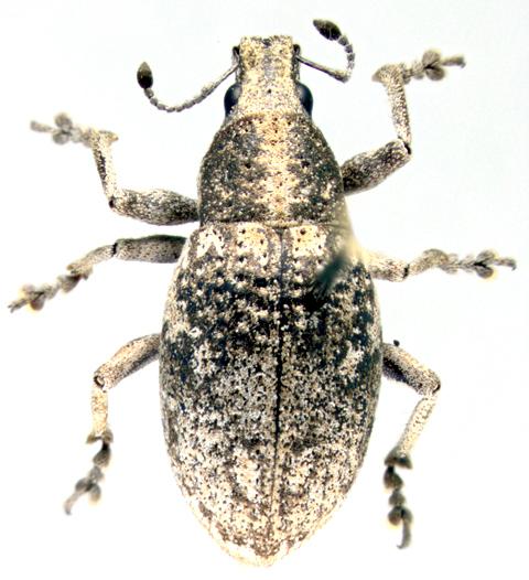 Curculionidae, dorsal - Epicaerus imbricatus