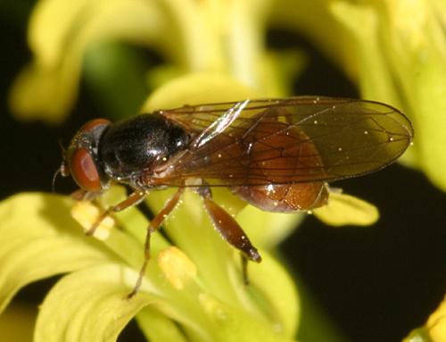 fly - Sphegina - female
