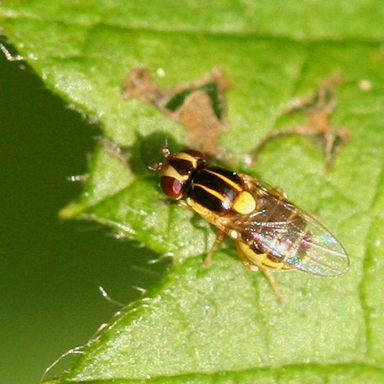 Black and Yellow Fly - Thaumatomyia