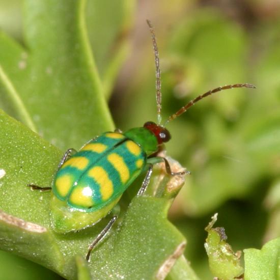banded cucumber beetle - Diabrotica balteata