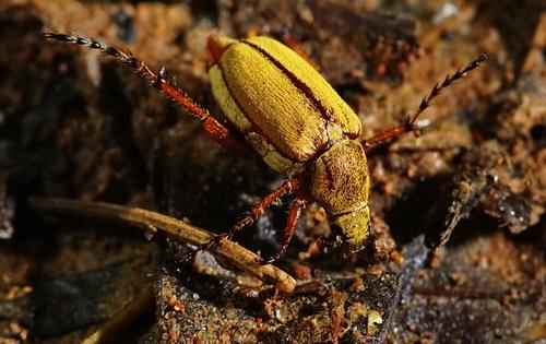 Beetle  - Macrodactylus subspinosus