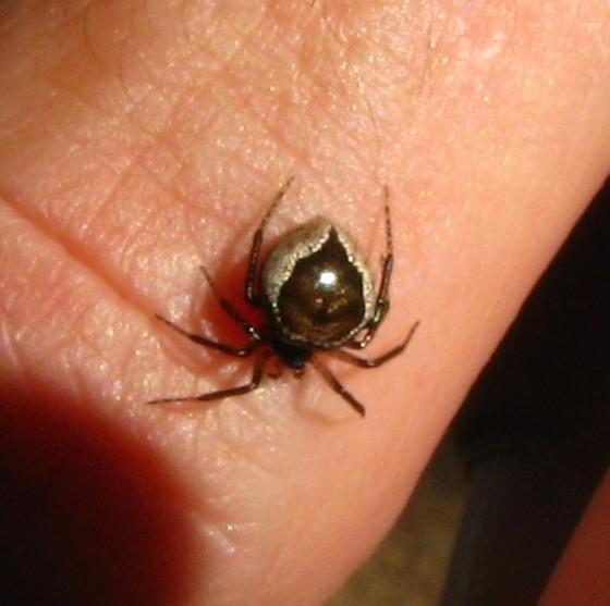 unknown spider - Euryopis