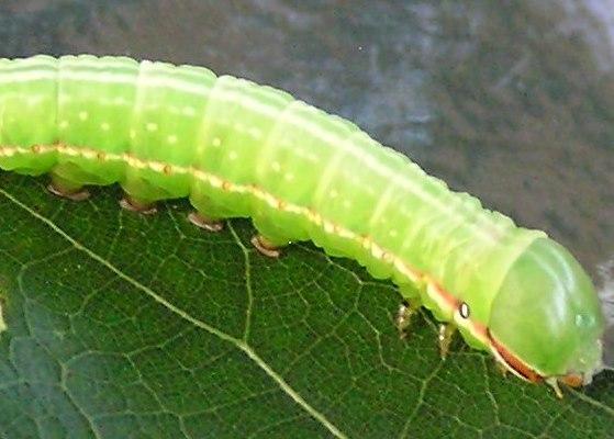 Angulose - Peridea angulosa