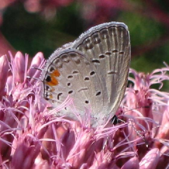 Eastern Tailed-Blue - Cupido comyntas