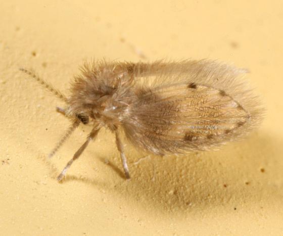 Moth Fly - Psychoda