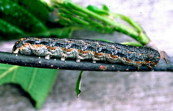 Pearly Underwing or Variegated Cutworm Moth Larva - Peridroma saucia