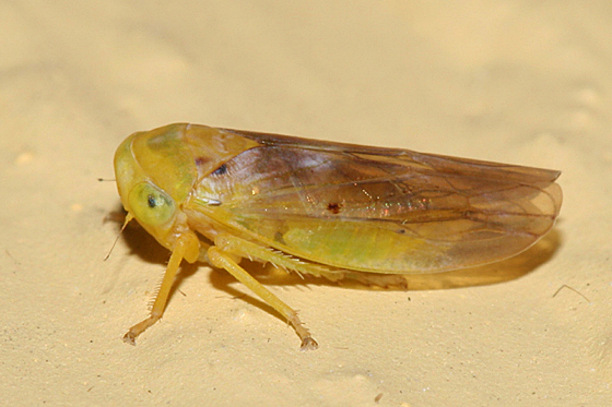 leafhopper - Idiocerus fulgidus
