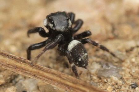 Jumping Spider - Hasarius adansoni - male