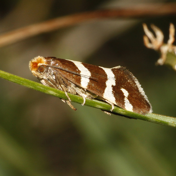 Lampronia species - Lampronia oregonella