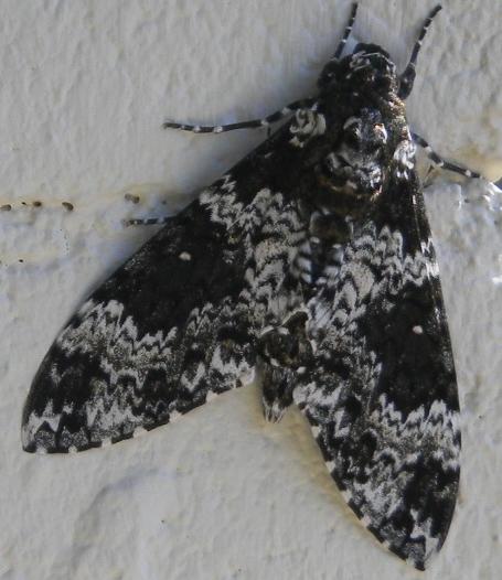 Black and white moth - Manduca rustica
