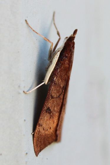 Moth ID? - Uresiphita reversalis