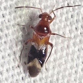 sort of an ant-mimic - Pilophoropsidea camela