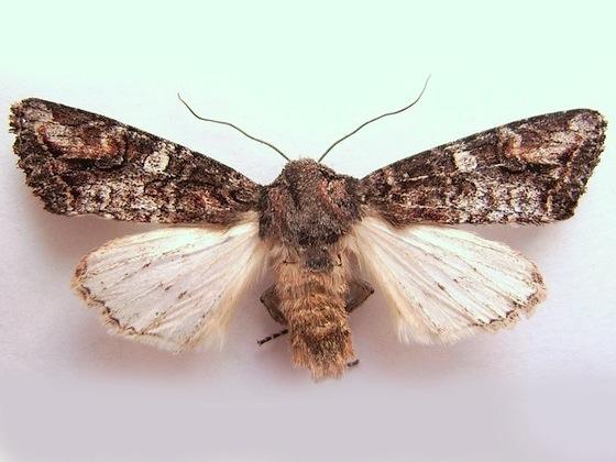 Brown Woodling Moth - Egira perlubens