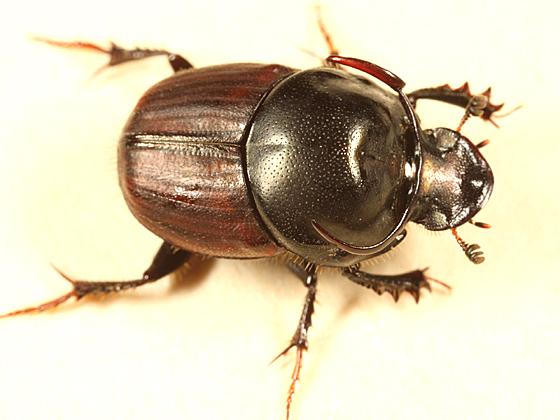 Scarab Beetle - Onthophagus taurus - male