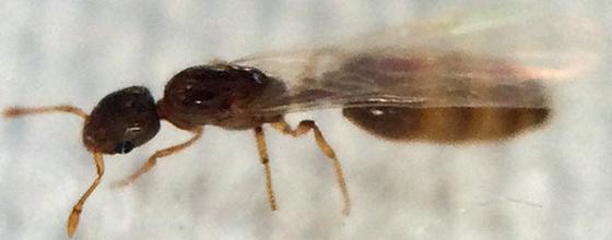 Ant - Solenopsis molesta - female