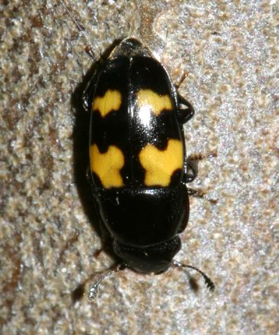 Pleasing Fungus Beetle ? - Glischrochilus fasciatus