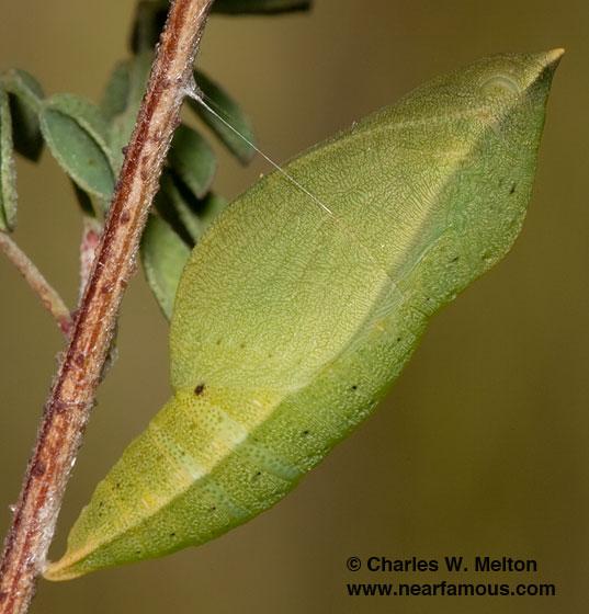 Chrysalis - Zerene cesonia