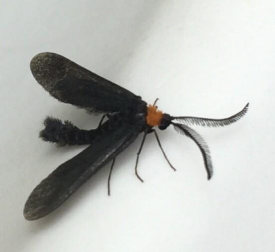 Black and orange insect - Harrisina americana