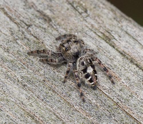 spider - Phidippus putnami