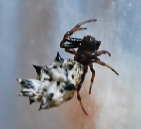 Pointy Butt Spider - Micrathena gracilis - female